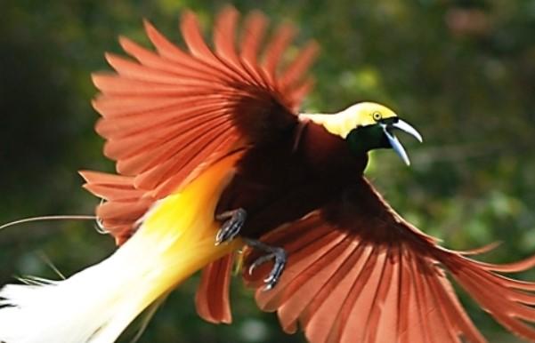 burung-cendrawasih
