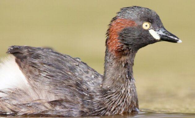 burung-grebe-australasia