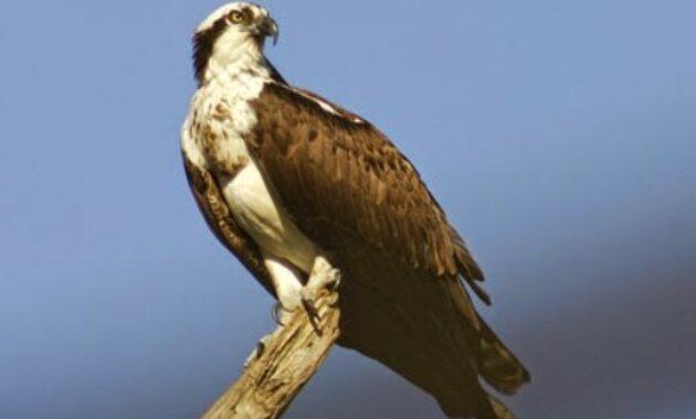 burung-osprey