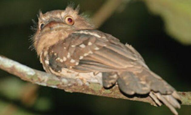 burung-paruh-kodok