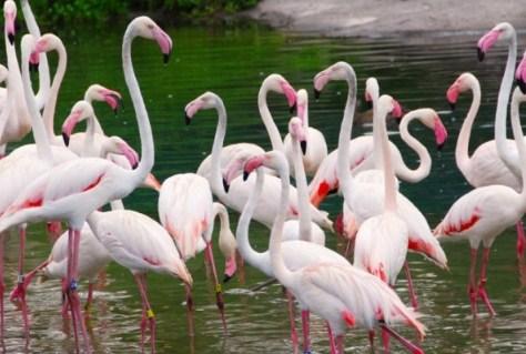 Mengenal-Flamingo