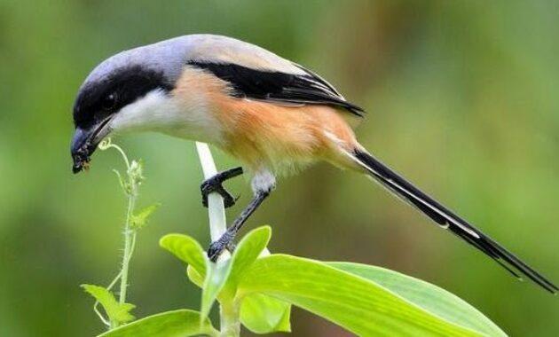 burung-cendet