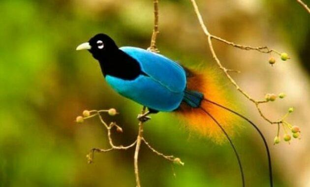 burung-cendrawasih-biru