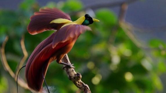 burung-cendrawasih-merah