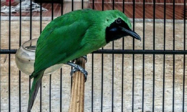 burung-cucak-hijau