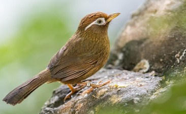burung-hwamei-china