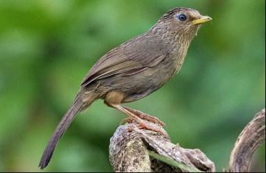 burung-hwamei-taiwan