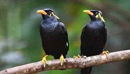 burung-jalak