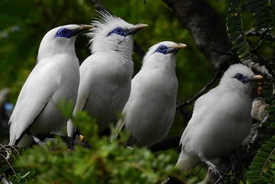 burung-jalak-bali