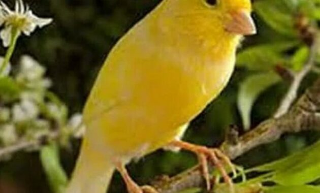burung-kenari