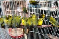 burung-murah