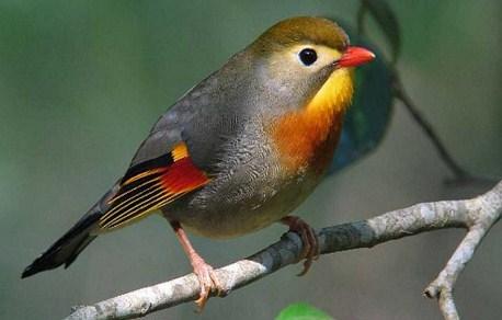 burung-robin-jawa