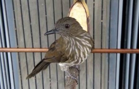 burung-sirisiri