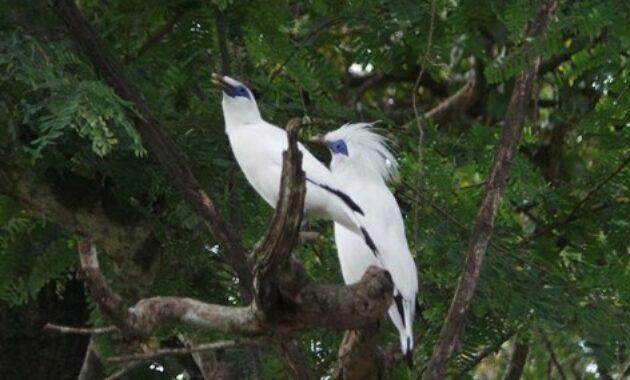 habitat-jalak-bali