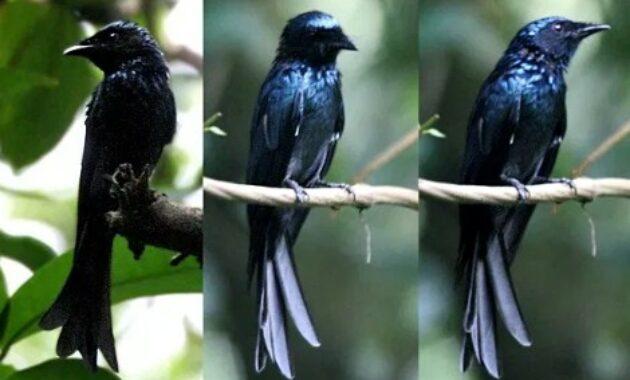 jenis-burung-srigunting