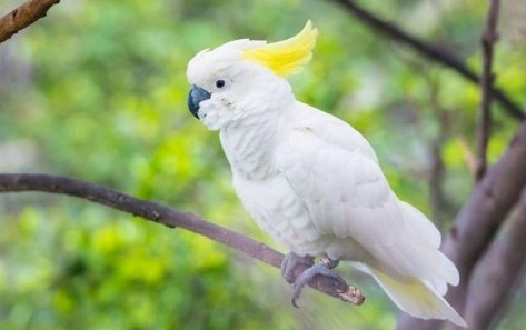 kakatua-jambul-kuning