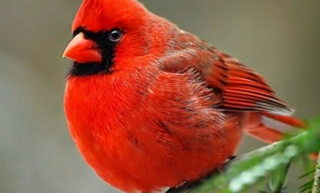 kardinal-merah