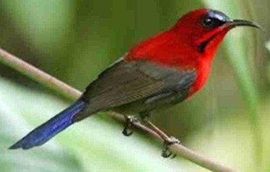 kolibri-sepah-raja