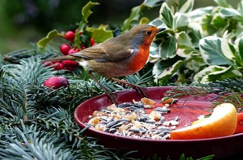 makanan-burung-robin