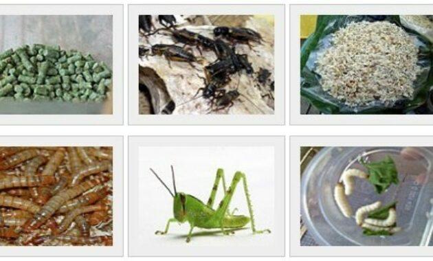 makanan-poksay-serangga
