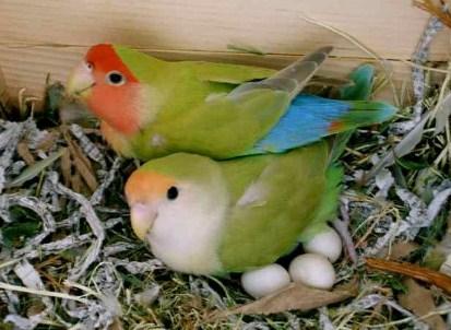 pengeraman-telur-lovebird