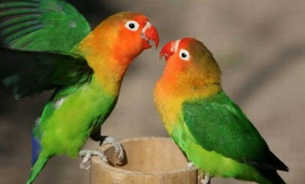 penjodohan-lovebird