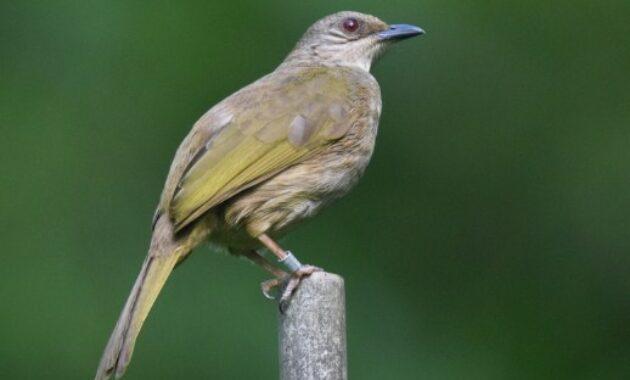 pycnonotus-plumosus