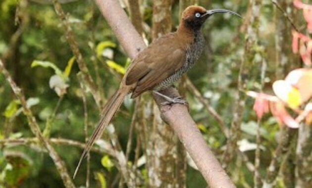 cucakrowo-papua