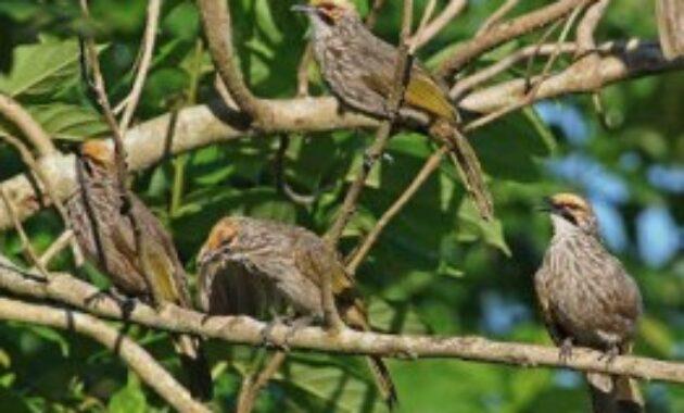 habitat-cucak-rowo
