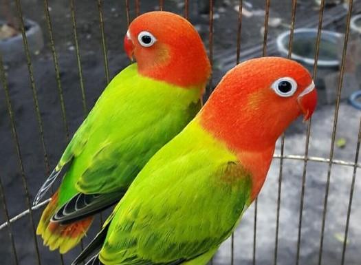 harga-lovebird-biola
