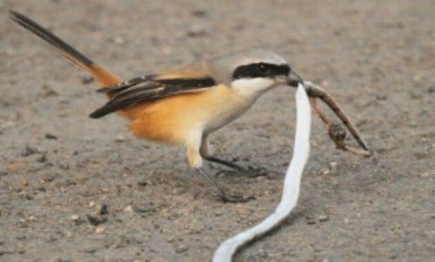 makanan-burung-cendet