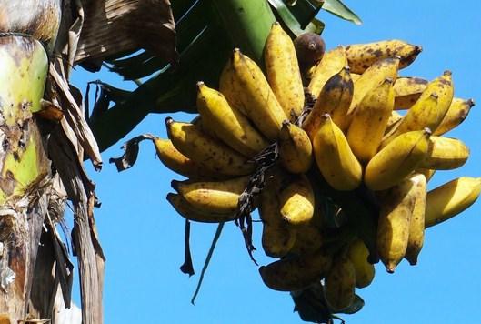 makanan-cucak-ijo-selain-pisang