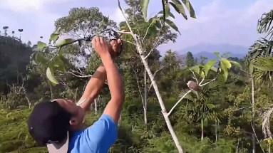 memikat-kolibri