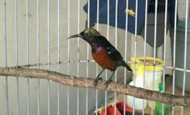 merawat-kolibri