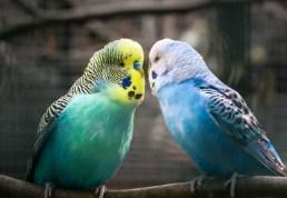 suara-burung-parkit