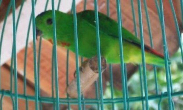 burung-serindit-jantan