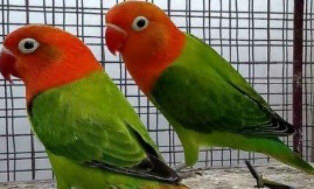 cara-merawat-lovebird-biar-cepat-gacor