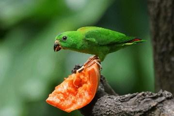 manfaat-merawat-burung-serindit