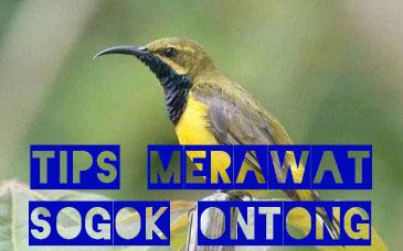 tips-merawat-sogok-ontong