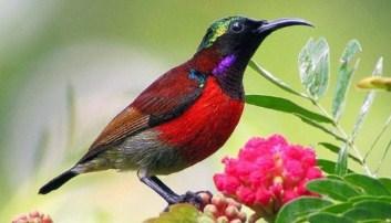 burung-kolibri-ninja