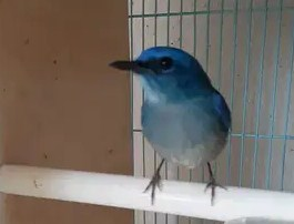 burung-tledekan-biru