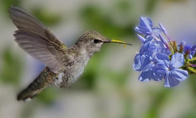 harga-burung-kolibri-bahan