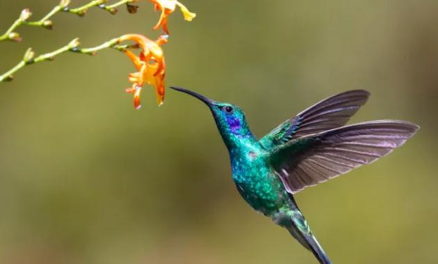 harga-burung-kolibri-sogon