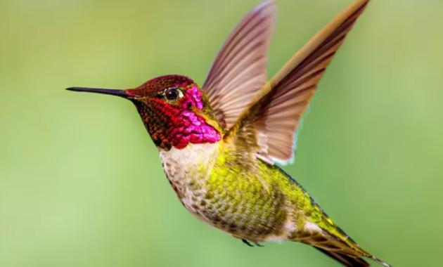 harga-burung-kolibri-wulung-gacor