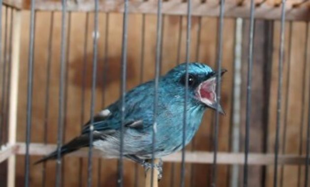 jenis-burung-selendang-biru