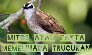 mitos-burung-trucukan