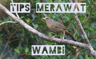 tips-merawat-wambi