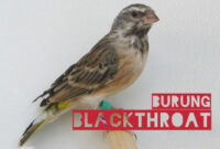 burung-blackthroat