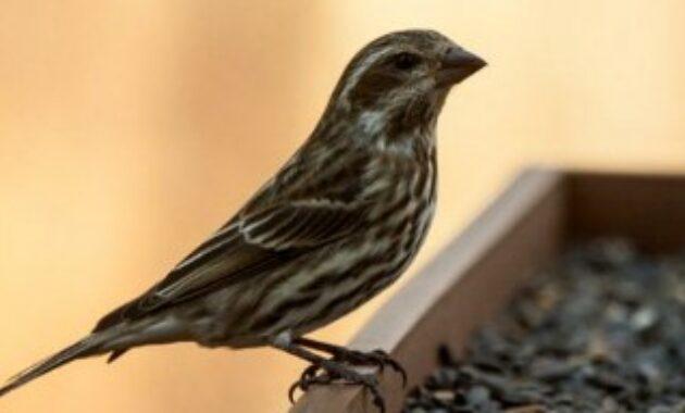 burung-blackthroat-jantan