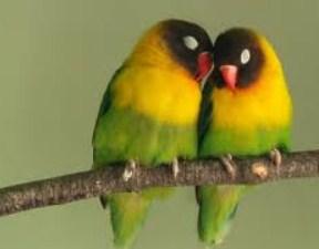 burung-loverbird